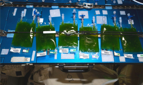 Three-dimensionally (3D) printed microalgae,